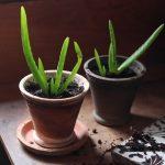 Aloe Vera em Vaso