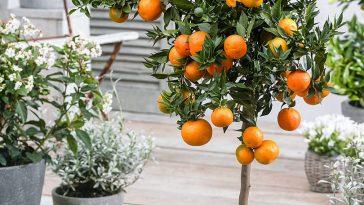 Como Cultivar Laranja em Vasos