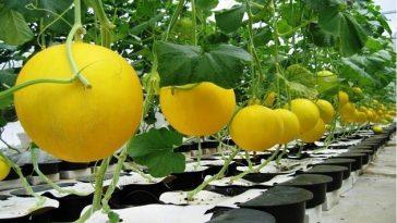 Como Cultivar Melão no Vaso