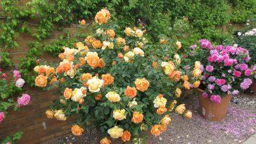 Como Cultivar Rosas em Vasos