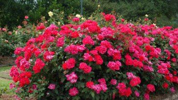 Como Iniciar Seu Próprio Jardim de Rosas