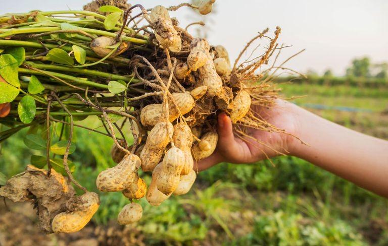 Como Plantar Amendoim em Casa