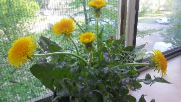 Como Plantar Dentes-de-Leão Dentro de Casa no Vaso