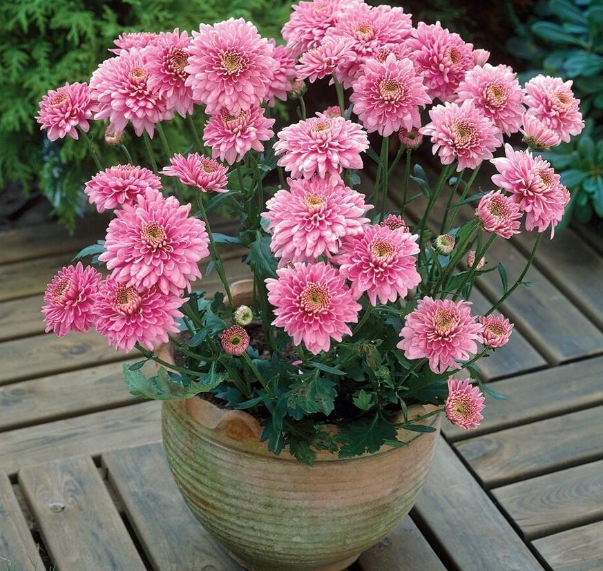 Como Plantar Flor Áster no Vaso