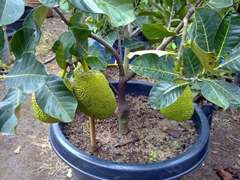 Como Plantar Jaca no Vaso - Plantio, Cultivo e Colheita