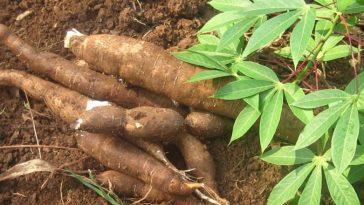 Como Plantar Mandioca em Casa