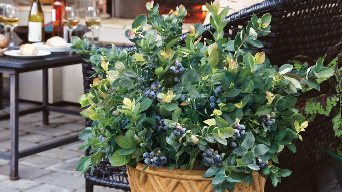 Como Plantar Mirtilos no Vaso