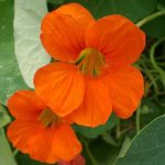 Como Plantar e Cultivar Capuchinha no Vaso