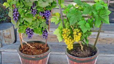 Cultivando Uvas em Recipientes
