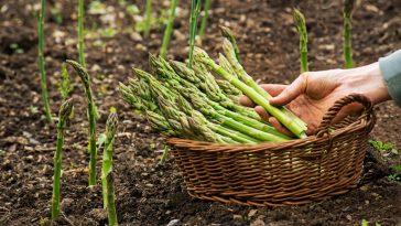 Cultivar Aspargos no Vaso