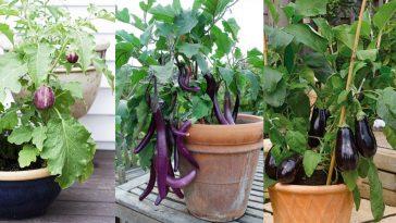Cultivar Berinjela no Vaso