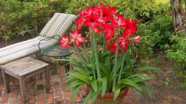 Dicas Para Plantar Flores Amaryllis em um Recipiente