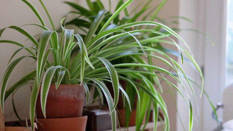 Planta Aranha em Vaso