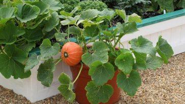 Plantar Abobora no Vaso