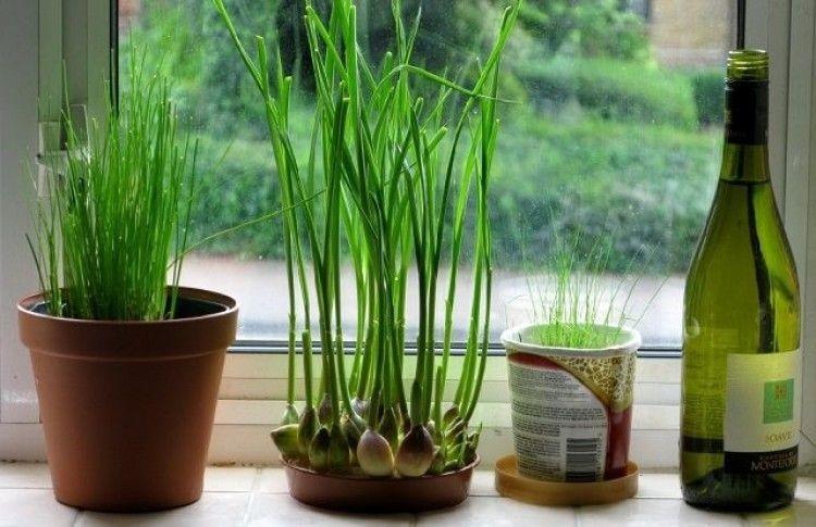 Plantar Alho em Vaso