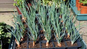 Plantar Cebola no Vaso