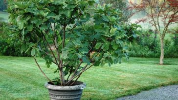 Plantar Figo em Vaso