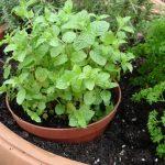 Plantar Hortela em Vaso