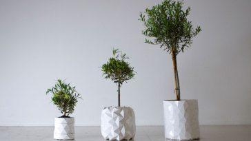 Plantar Oliveira no Vaso