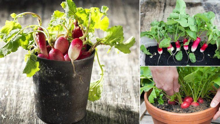 Plantar Rabanetes em Vasos