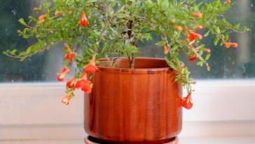 Plantar Romas no Vaso