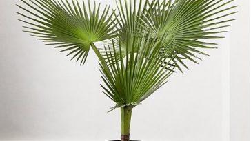 Plantio de Palmeira-Leque no vaso!