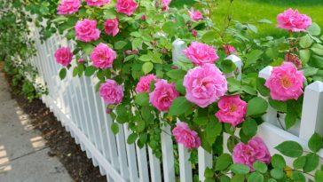 Regras Essenciais Para Cultivar Lindas Rosas em seu Jardim
