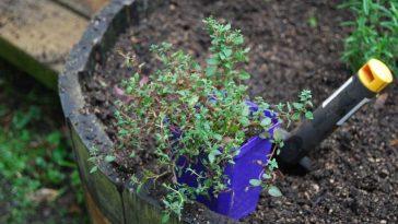 cultivar tomilho