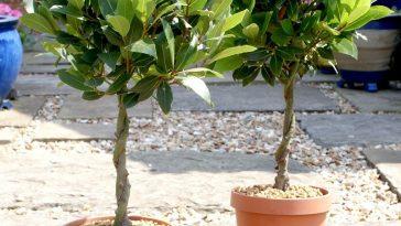 cultivo de folha de louro
