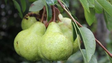 plantar pera